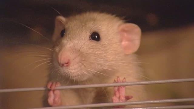 Eine Ratte der niederländischen Polizei schaut aus ihrem Käfig