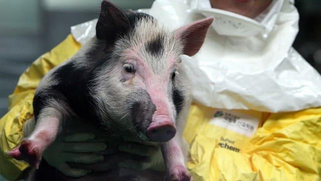 Koreanische Forscher mit Schwein, das für Transplantionsforschung gezüchtet wurde (2014)