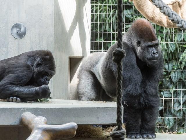 Gorilla M'Tongé mit Weibchen Joas im Gehege des Basler Zoos.