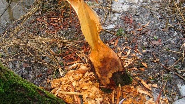 Spuren eines Bibers: Ein Baum wurde so weit angenagt, dass er ins Wasser gekippt ist.