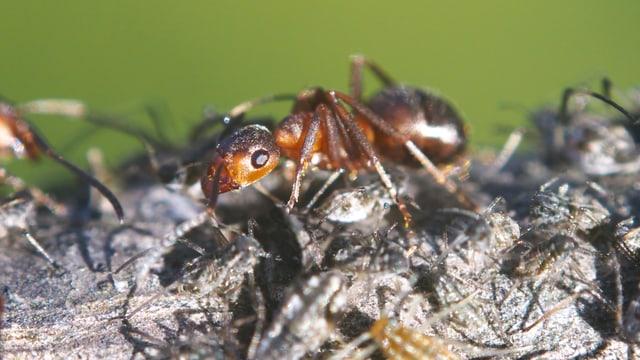 Eine rötliche Ameise auf grauem Grund vor grünem Hintergrund.