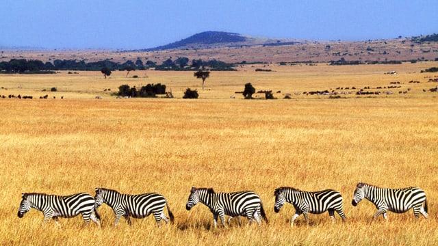 Zebraherde im kenianischen Grasland.
