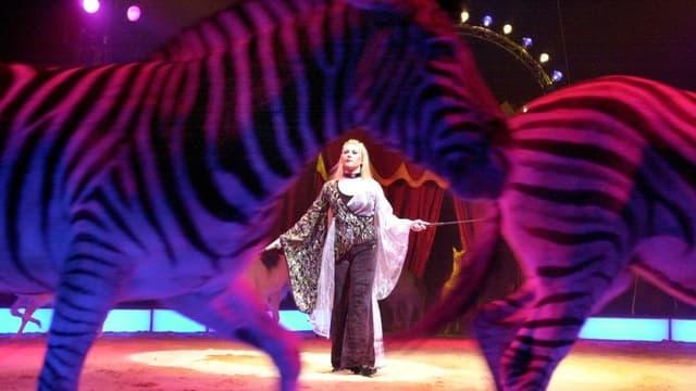 Zebras in Zirkusmanege