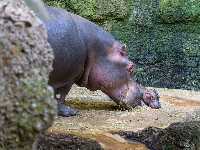 Flusspferdmama Helvetia mit Baby