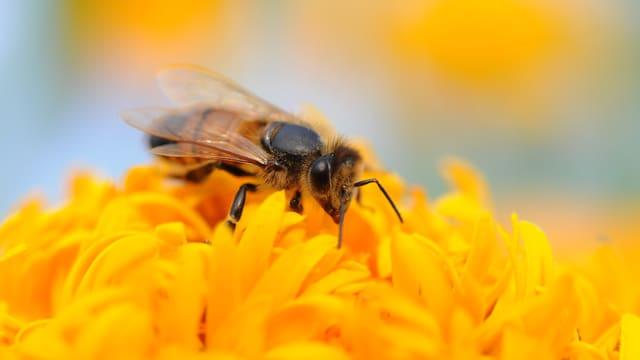 Eine Biene auf einer gelben Blume.
