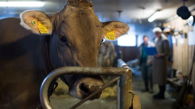 Eine Kuh in einem Stall, im Hintergrund ein Tierarzt und ein Bauer im Gespräch