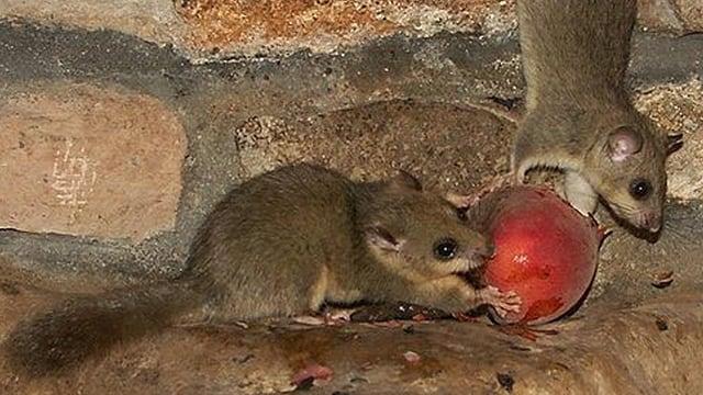 Zwei Siebenschläfer verzehren einen frischen Pfirsich.