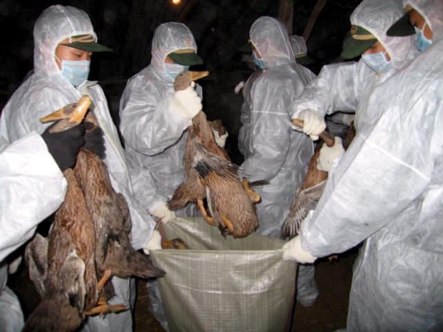 Chinesische Polizisten entsorgen tote Vögel.