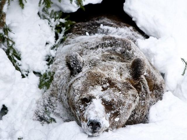 Ein Braunbär im tiefen Schnee