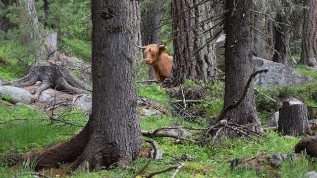 Schottisches Hochlandrind im Wald