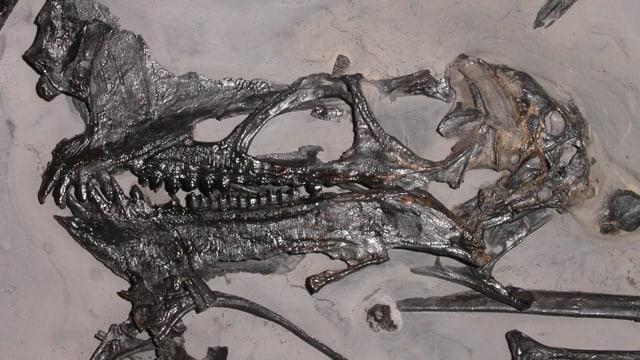 Fossil dal saur sgulant