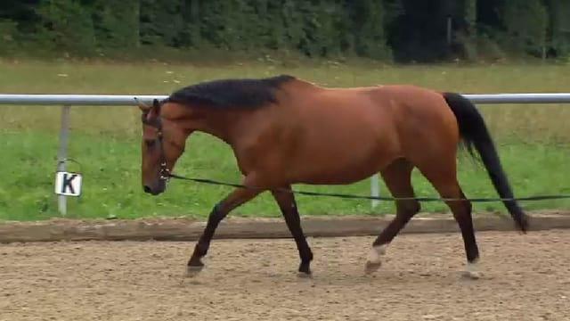 Pferd auf einem Sandplatz an der Longierleine.