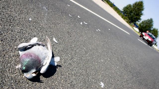 Tote Taube auf der Strasse