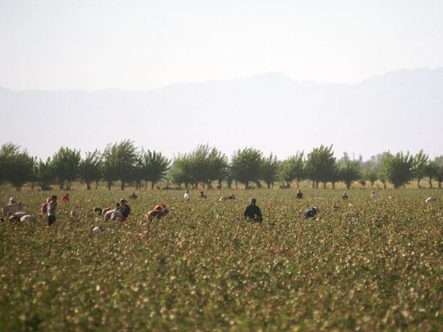 Baumwollernter auf einem Feld