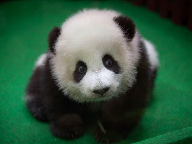 Panda auf grünem Boden
