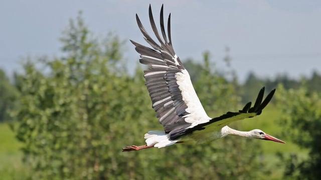 Ein Storch, der fliegt.