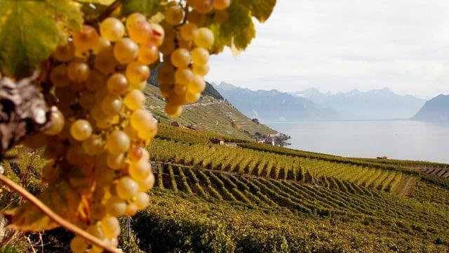 Weintrauben im Vordergrund, Weinberge im Hintergrund