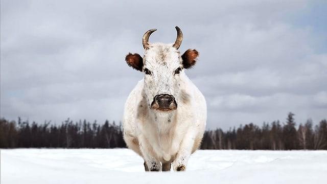 Weiss Kuh im Schnee