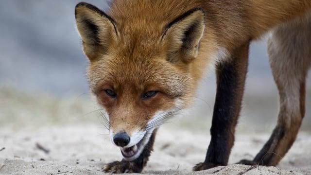 Ein Fuchs steht auf dem Sand
