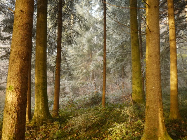Bäume im silbernen Grau von Reif.