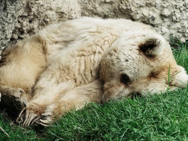Ein Bär döst vor sich hin.