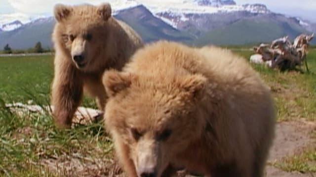 Zwei Grizzlybären laufen über eine Wiese, im Hintergrund sind Berge zu sehen.