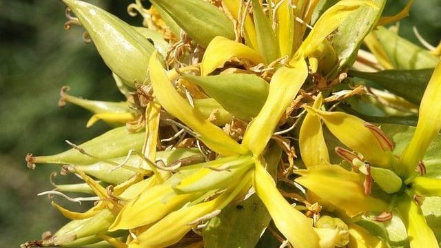Der Gelbe Enzian zählt zu den bekanntesten Heilpflanzen in den Bergen.