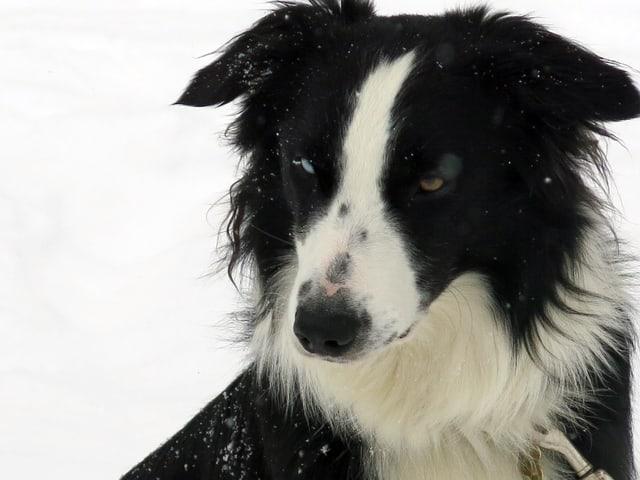 Hund Zorro