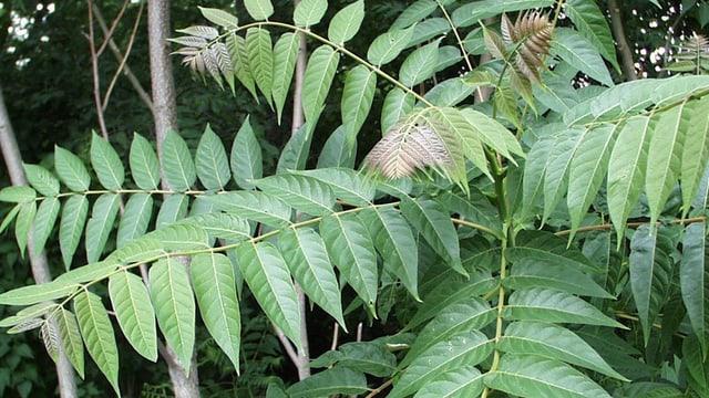 Fün Blätterdes Götterbaumes im Wald. Es ist paarig gefiedert.