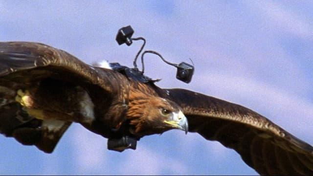 Ein Adler mit zwei kleinen Kameras auf dem Rücken.