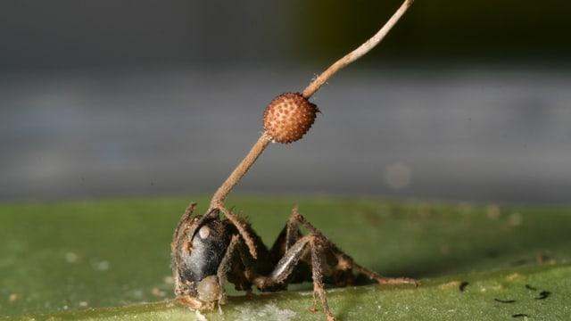 Ein Pilz-Stiel wächst aus dem Kopf einer Ameise