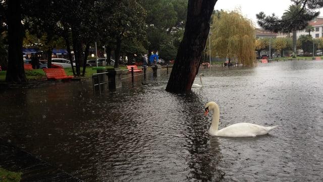 Schwäne geniessen das Regenwetter auf der überfluteten Uferzone.
