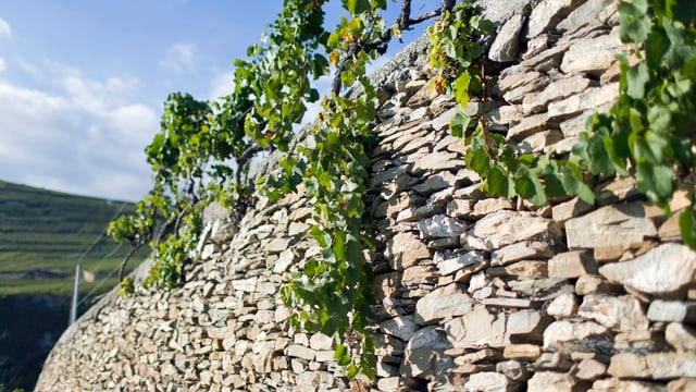 Trockenmauer mit Reben
