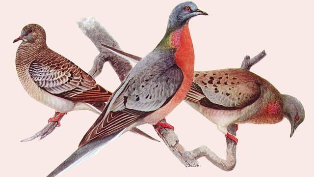 Gemalte Wandertauben: ein junges Tier im typischen Federkleid, ein farbenfrohes Männchen und ein Weibchen rechts.