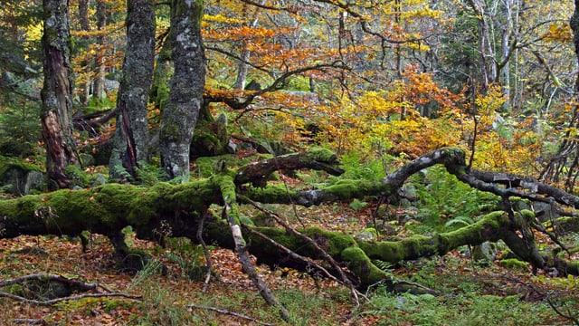 Ein umgestrürzter Baum in einem herbstlichen Laubwald.