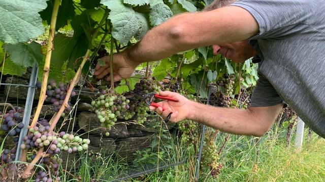 Bei der Grünlese werden die Traubenbeeren im Rebstock rausgeschnitten, die in der Entwicklung noch nicht so weit sind wie die übrigen Trauben.