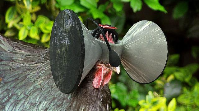 Ein Huhn mit einem seltsamen Gebilde auf dem Kopf.
