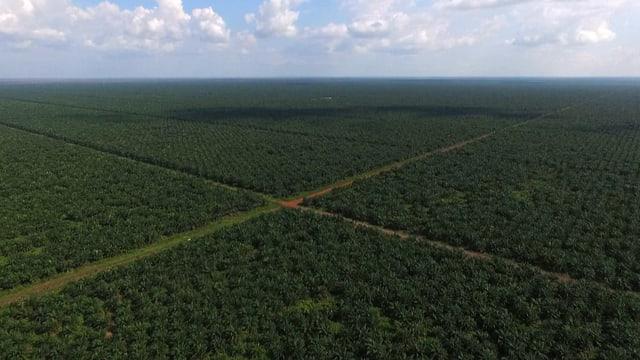 Sehr gleichmässiger Palmenwald
