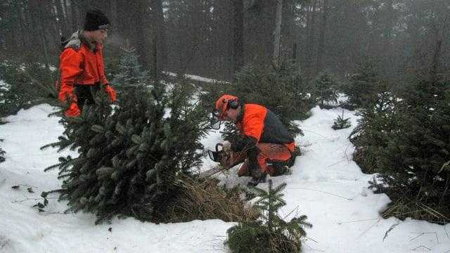 Die beiden Lehrlinge Christof Thoma und Dario Obrecht beim Ernten der Christbäume.