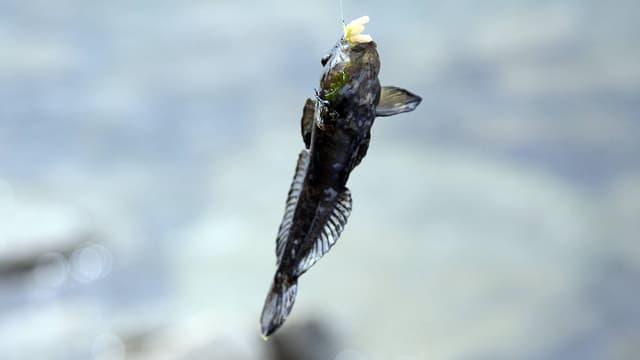 Die kleine Schwarzmeergrundel ernährt sich unter anderem vom Laich einheimischer Fische.