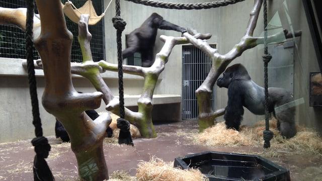 Gorillas im Basler Zolli: Der neue Silberrücken zeigt dem anderen Männchen, wer neuer Chef ist.