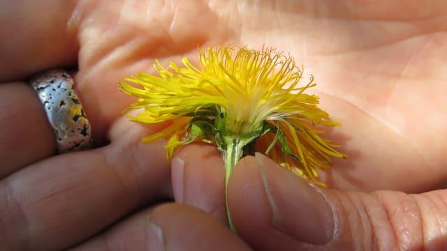 Löwenzahn-Blüte halbiert