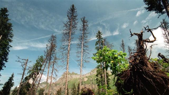 Kranke Bäume, die einen ganz leicht bewölkten Himmel ragen.
