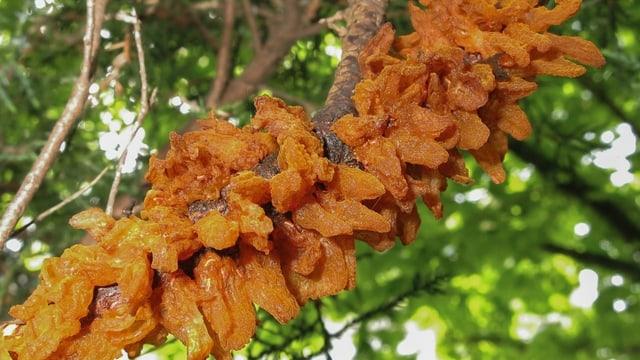 orange Pilze, die aus einem Ast herauswachsen