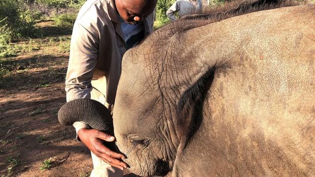Ein Mitarbeiter von «Elefanten ohne Grenzen» streichelt in Botswana einen kleinen, elternlosen Elefanten.