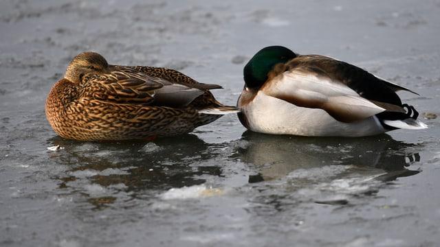 Zwei Enten haben kalt