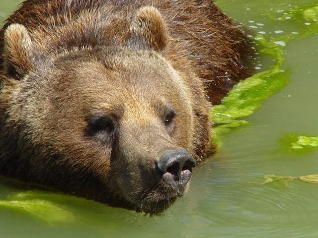 Bär schwimmt