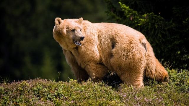 Ein Bär steht in der Natur
