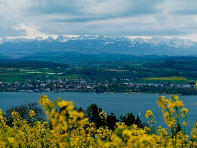 Föhnwolken über den Alpen, im Vordergrund Blumen, dann der See, dahinter die Berner Alpen.
