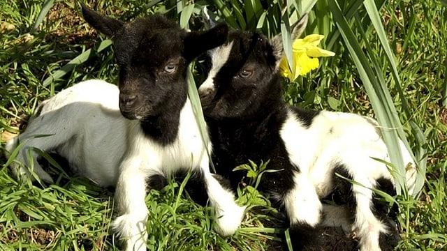 Zwei Ostergitzi liegen im Gras.